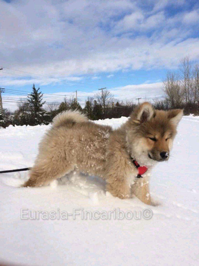 eurasia_fincaribou_eurasier_0371543793078329928479