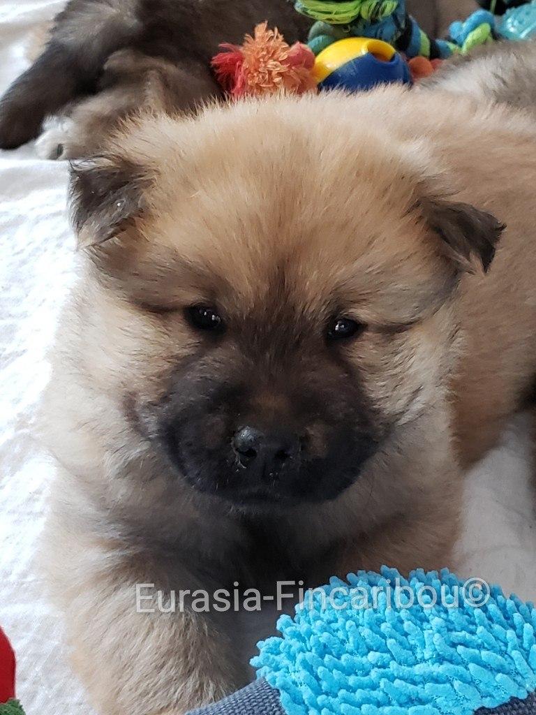 eurasia_fincaribou_eurasier_056