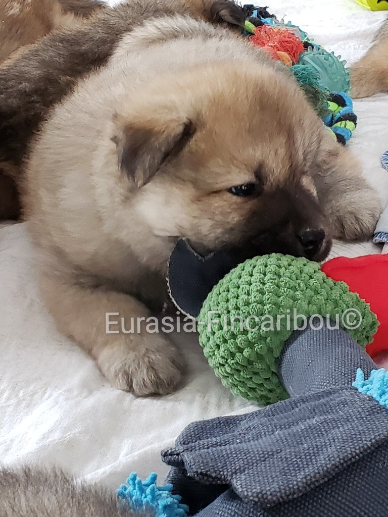 eurasia_fincaribou_eurasier_059