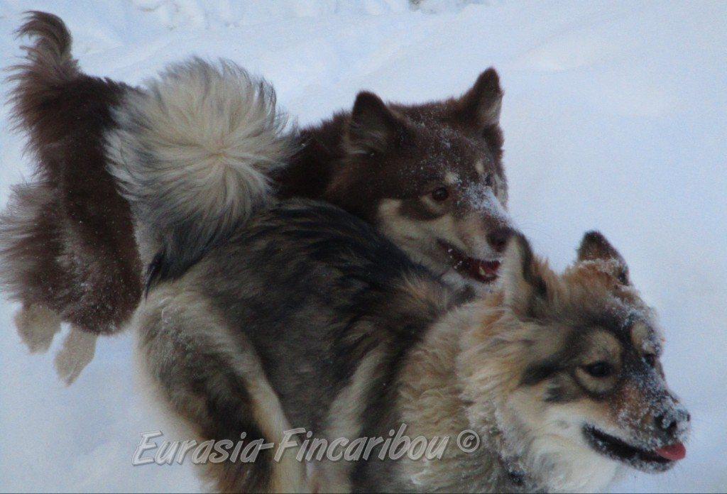 eurasia_fincaribou_eurasier_46