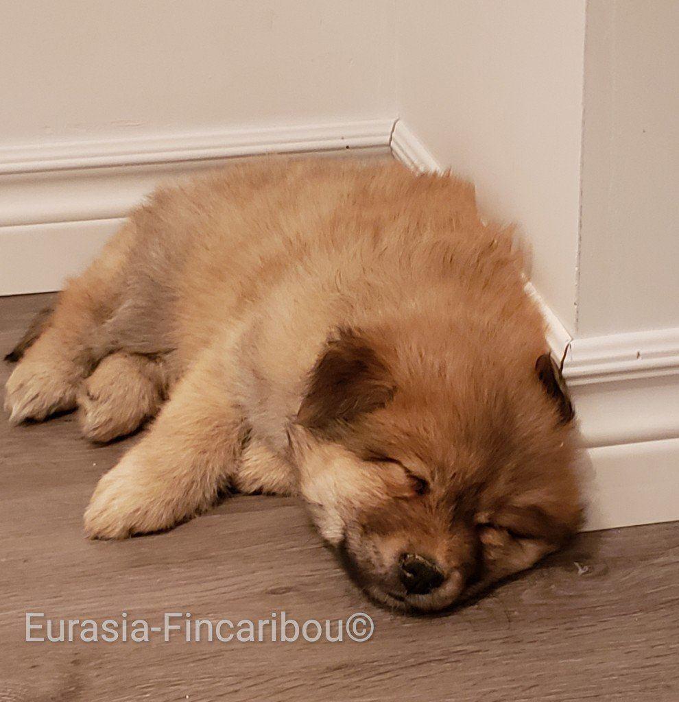 eurasia_fincaribou_eurasier_chiot_0216727954726378037258