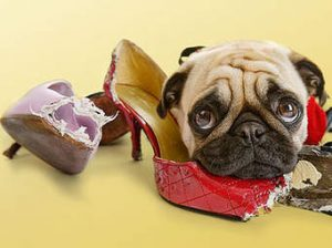 chien gruge souliers