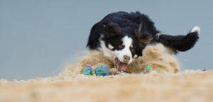 chien apporte un jouet