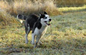 husky apporte la balle