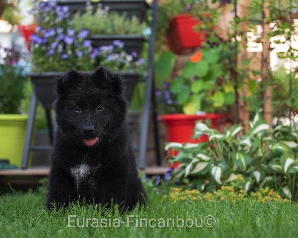 eurasia_fincaribou_finnois_de_laponie_022