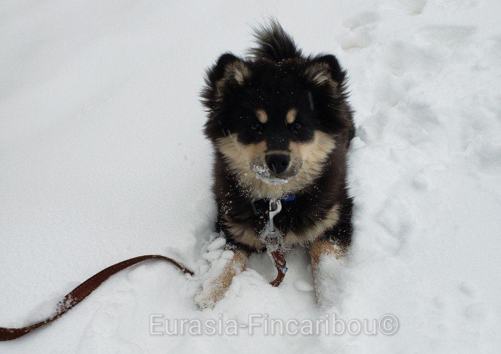 eurasia_fincaribou_finnois_de_laponie_0378899275956305523835